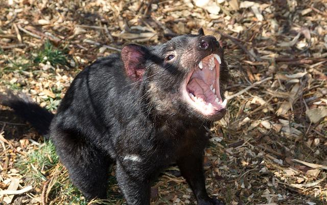 tasmánský čertík